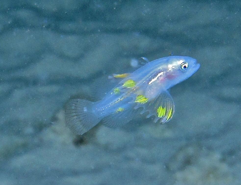 OPT7 LED headlights help observe rare fish